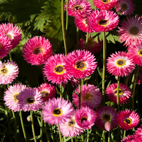 Happy Pink by Jan Crawford - Flowers Flowers in the Wild ( spring flowers, nature, bright, pink, flowers )