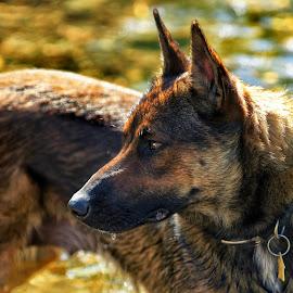 Mesa - Malinois Dog - 2643 by Twin Wranglers Baker - Animals - Dogs Portraits (  )