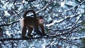 Mystery Monkeys of Shangri-La thumbnail