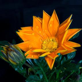 by Rajib Bahar - Flowers Single Flower (  )