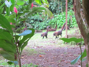 Photo: Coatis on the prowl