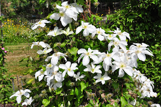 Photo: Clematis 'John Huxtable'