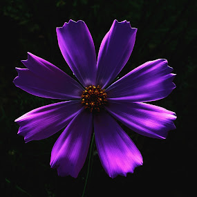 Cosmos Explosion by Ursula Herbst - Flowers Single Flower