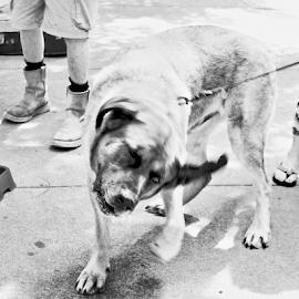 by Al Des Marteau - Animals - Dogs Playing
