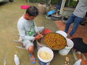 Photo: Sankamphaeng: gather fruit (Lamyai) for sale