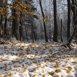 Зима by Georgi Kolev - Landscapes Forests ( сняг., слънце., сенки., гора., листа., зима )
