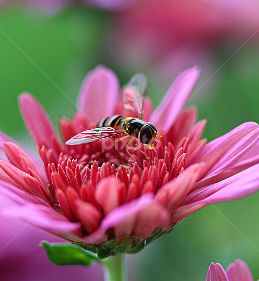 by Carmen Quesada - Flowers Flower Gardens ( pnk, single, mums, buds, garden, flower,  )