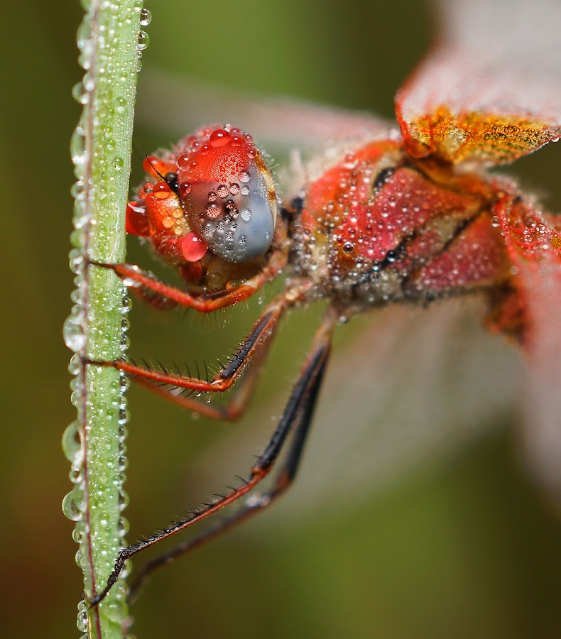 Winter Dews by Jatin Shrivastava - Animals Insects & Spiders ( water, macro, winter, dews, nature, dragonfly )