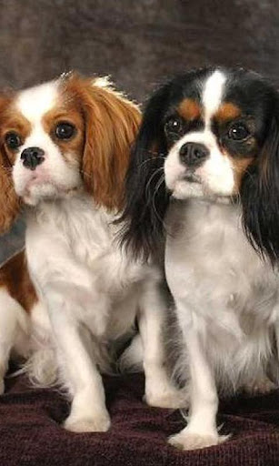 King CharlesSpaniel Wallpapers