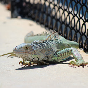 Iggy by Heather Taulbee McIntyre - Novices Only Wildlife ( lizard, nature, florida, outdoors, iguana, summer, beach, bahia honda )