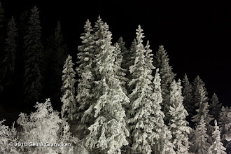 Photo: Spruce trees by the Vikersund ski jumping hill, after the snow canons have created a local snow storm for a few days