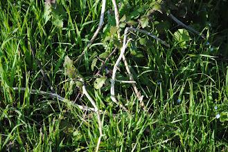 Photo: Le Xylocope violet (Xylocopa violacea)