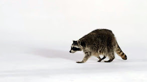 Orangs, Raccoons & Cool Cats thumbnail