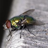 Piccola mosca verde di lele.r