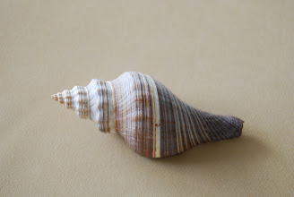 Photo: Winning Shell Number: 328  15. Sea shell from Senegal