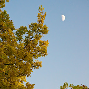 Evening Moon by Susan Grefe - Landscapes Forests ( moon, sky, tree, fall, evening )
