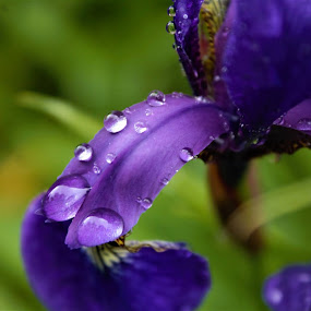 Iris today at work with water droplets. by Sam Kirimli - Nature Up Close Natural Waterdrops