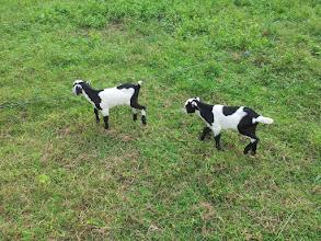 Photo: goats