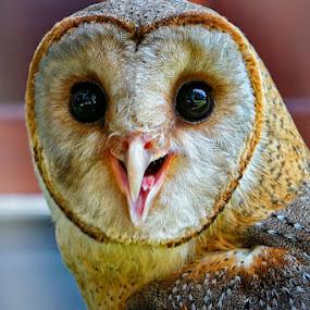 by Harry Patriantono - Animals Birds ( owl )
