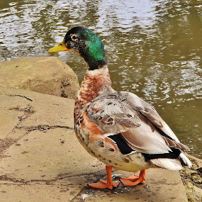 Hybrid Mallard Duck  by Eloise Rawling - Novices Only Wildlife ( scarborough, peasholm park, duck )