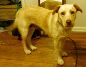 Photo: these were taken on the 4th night that I have had her. She is about 1-1/2 years old and is mostly yellow lab