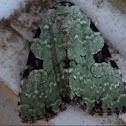 Green Leuconycta
