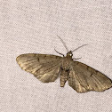 Common gray