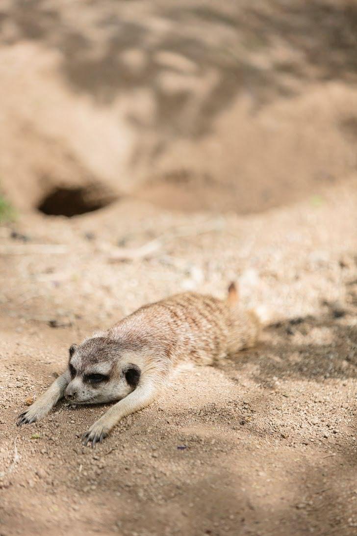Meerkat San Diego Wild Animal Park.