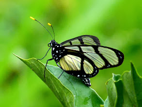 Photo: CONFUSED TIGERWING-- methona confusa--CASCADA HOLLIN--A MOST WANTED SPECIES