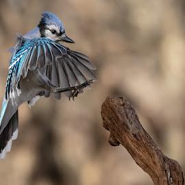 Blue Jay Landing 8363 by Carl Albro - Animals Birds ( landing, bird in flight, blue jay, birds, branch )