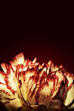 Photo: Carnation #FloralFriday curated by +Tamara Pruessner