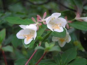 Photo: ツクバネウツギ(スイカズラ科)。 2007.05.10 宮路山にて。 5枚のピンクのがく片は花後も果実の先に付いて残り、その形が「はねつき」の羽根に似ていることからこの名前が付いたそうです。