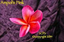 Photo: Ampol's Pink