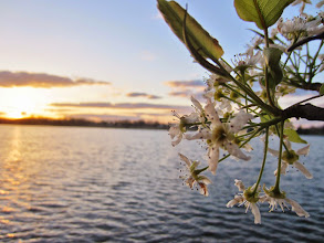 Photo: Beautiful pear blossoms overlooking a lake at dusk in Eastwood Park in Dayton, Ohio.