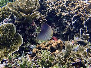 Photo: Chaetodon baronessa (Eastern Triangular Butterflyfish), Small Lagoon, Miniloc Island, Palawan, Philippines.