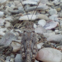 Seaside Grasshopper