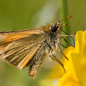Butterfly by Leigh Brooksbank - Animals Insects & Spiders ( wild flower, butterfly, nature, flower, wild flowers )