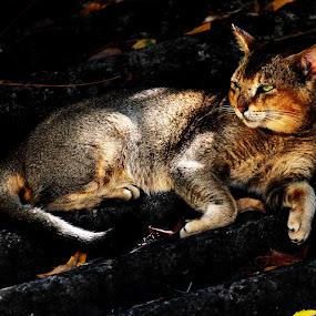 by Praveen Kumar - Animals - Cats Portraits