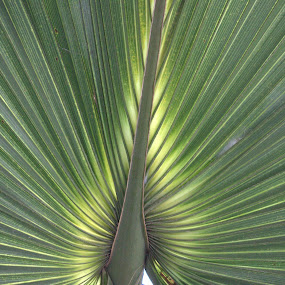 by Rob Frederick - Novices Only Flowers & Plants ( palm tree, #dpsgreen, leaf, palm frawn )