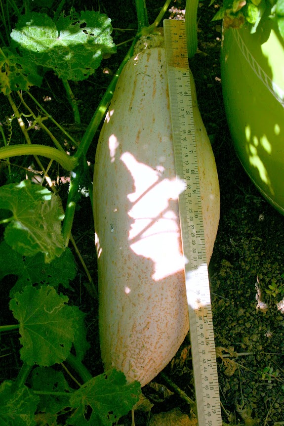 banana squash next to yardstick in the garden