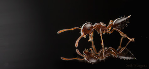 Photo: Acrobat ant on glass (Crematogaster sp.)