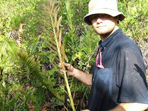Photo: Swamp Fern, Giant Leather Fern - Acrostichum danaeifolium, POLYPODIACEAE,  fertile fronds with sporangia on all the pinnae.  Data deficient suspected to be at risk. Photo: Ann Stafford, Aug. 8, 2007.  Western Hemisphere tropics, in same habitats as Mangrove Fern - Acrostichum aureum, but much less common. Fertile fronds of the very common A. aureum bear sporangia on the upper pinnae only. http://lee.ifas.ufl.edu/Hort/GardenPubsAZ/Giant_Leather_fern_Acrostichum_danaeifolum.pdf