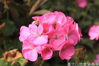 Photo: 拍攝地點: 梅峰-溫帶花卉區 拍攝植物: 天竺葵 拍攝日期: 2015_10_05_FY