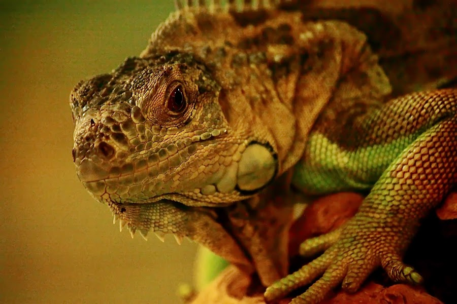 Herbivorous Iguanidae by Dody Mawardi - Animals Reptiles ( lizard, green, lizzard, one eye, reptil, close up, animal,  )