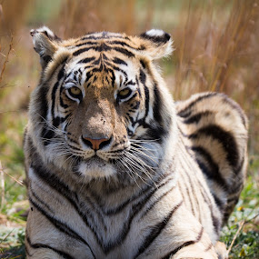 Whiskers by Dawie Nolte - Animals Lions, Tigers & Big Cats ( big cat, face, tiger, whiskers, stripes, eyes,  )