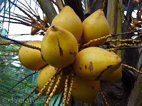 Photo: King Coconut Bawa's Place MATALE Sri Lanka