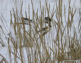 Photo: Snow Buntings feeding in tall grass on the Homer Spit