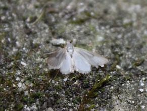 Photo: Acentria ephemerella   Lepidoptera > Crambidae