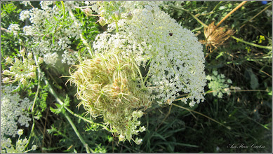 Photo: Morcov sălbatic (Daucus carota) - de pe Str. Miron Costin -2017.07.18