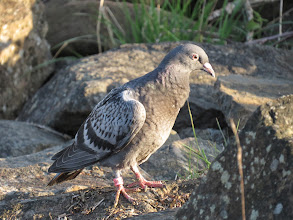 Photo: Priorslee Lake Not exactly a rare bird but an usual sighting: this Racing Pigeon flew in and landed on the dam-face and did not seem too concerned about my presence. You can see the ring on the right leg – ends '..8434' and starts 'GB14' and 'Z...'. Anyone know how to trace where it should be – and may well now be of course. (Ed Wilson)